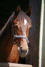 Koń czystej krwi miła w jego stajni oglądania