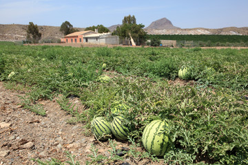 Watermelons on the watermelon plantation in Spain
