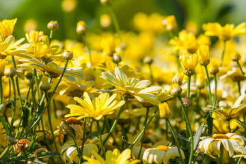 Yellow daisies flower background