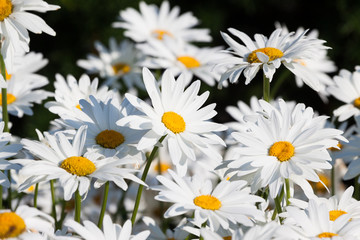 White daisies flower field