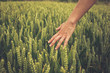 Hand touching crops in field - 67309006