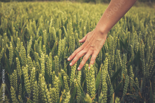 canvas print picture Hand touching crops in field