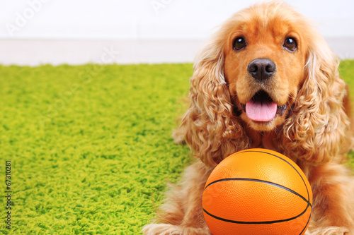 canvas print picture English cocker spaniel on carpet with ball in room