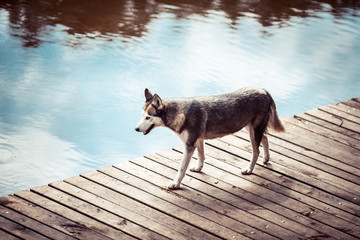 Husky is on the pier near the water
