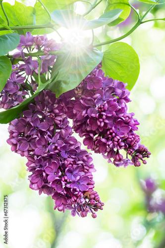 Fotobehang Lilac Purple lilac flowers