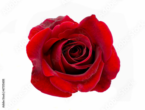 Staande foto Roses red rose isolated