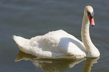 Mute Swan in a Calm Pond