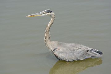 Great Blue Heron in a Small Pond