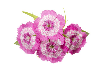 Dianthus barbatus pink flowers isolated
