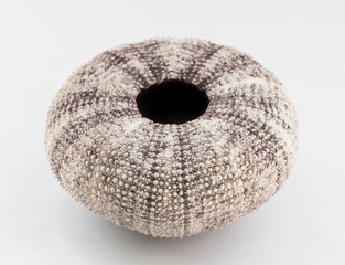 Sea urchin shell on white background. Selective focus.