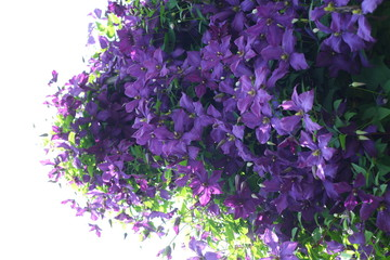 large garden shrub with lilac flowers. clematis