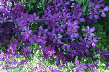 large garden shrub with lilac flowers