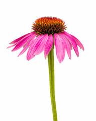 echinacea flower isolated