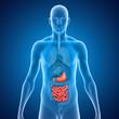 Постер, плакат: Stomach and Intestines