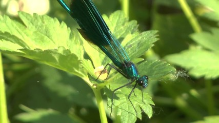 Blue dragonfly Calopteryx virgo on a grass