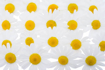 Group of Chamomile flower heads - background