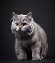Gray british longhair kitten