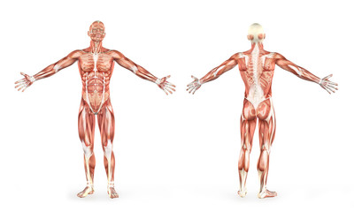 anatomy of the human body and muscles