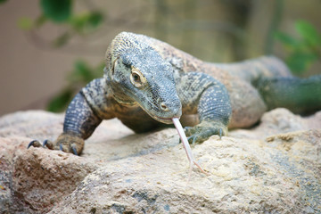 Komodo dragon on a rock