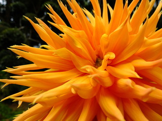 Orange-Yellow Dahlia Flower