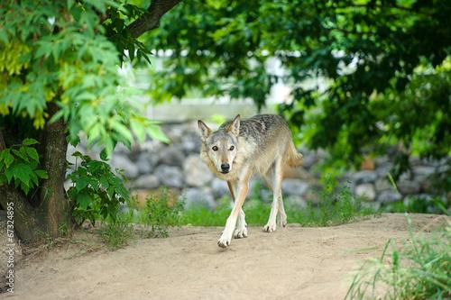 Papiers peints Hyène Wolf
