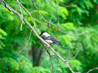 Crow on a tree branch