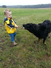 Tauziehen zwischen Kind und Hund