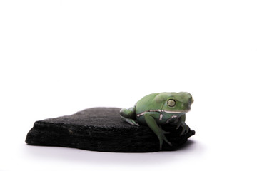 Green Tree Frog Sitting on Rock