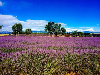 lavander in south of France