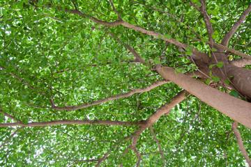 Terminalia ivorensis Chev, shade under the tree