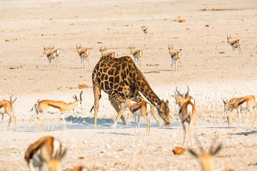 Giraffe drinking water in Etosha NP