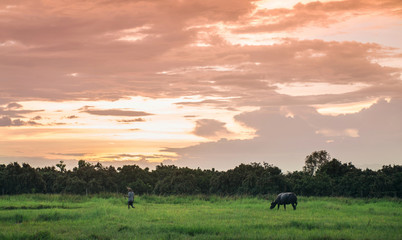 buffalo in a field and sunset