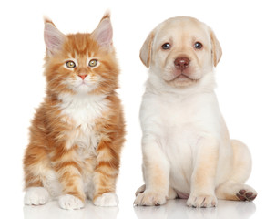 MaineCoon kitten and Labrador puppy