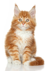 Ginger Maine Coon kitten on whit