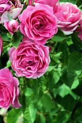 Cascata di rose