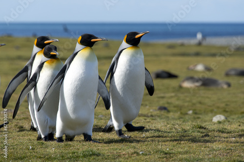Spoed canvasdoek 2cm dik Antarctica King penguins walking in sunlight, South Georgia