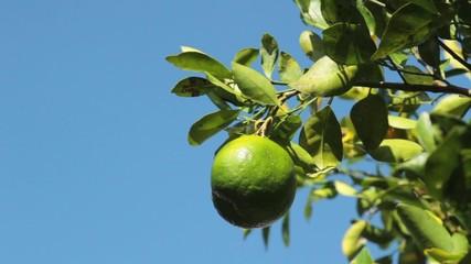Tree with juicy fruit.