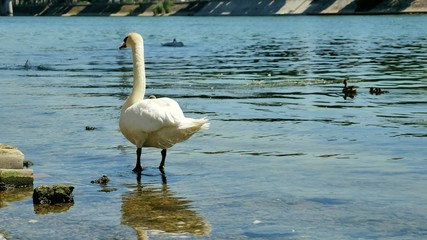Mature Swan standing  at the water's edge  along seine river