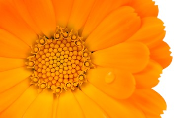 Calendula (Pot Marigold) Flower Close-Up on White Background