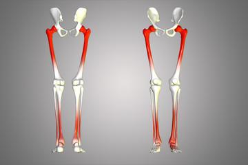 human leg joints