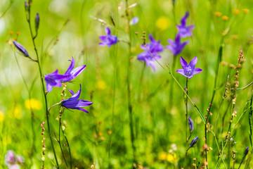 Castelluccio di Norcia, Campanula latifolia 21.06.14