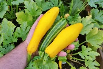 Zucchini gelb und grün