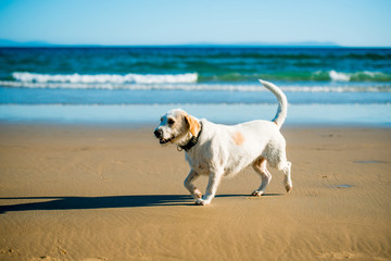 Dog runs on the seashore
