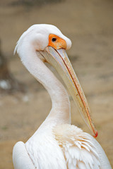 Portrait of a pelican from behind