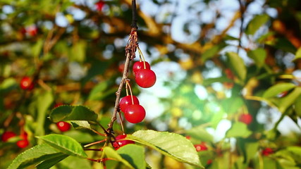 Cherries in the garden