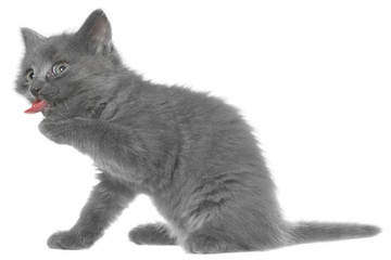 Small gray shorthair kitten yawn isolated