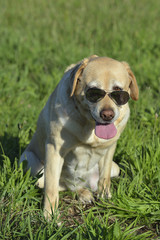 Nice Labrador retriever in the meadow with sunglasses