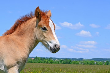 Head of a foal against a pasture