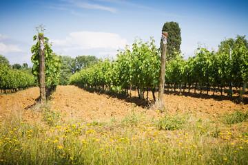 Sunny vineyard in Tuscany - Italy