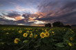 Colorful sunset over the sunflower meadow